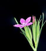 picture of wildflower  - Deptford Pink wildflower against a black background - JPG