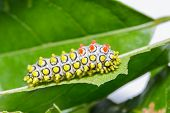 stock photo of moth  - Colorful aterpillar of Drury - JPG