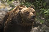 stock photo of grizzly bear  - Grizzly bear - JPG