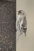 picture of bend  - Common Redpoll  - JPG