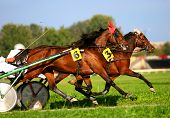 stock photo of blinders  - two trotting horses on the harness race - JPG