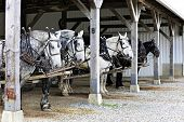 stock photo of dapple-grey  - Six horses hitched up to wagons  - JPG