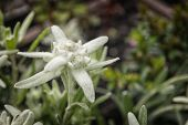 stock photo of edelweiss  - Picture of a edelweiss flower in the mountains - JPG