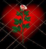Rose und Gitter