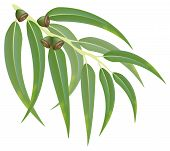 Eucalyptus Branch. Vector Illustration.