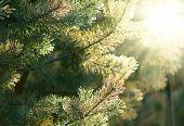 Frozen Pine tree branches