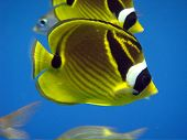 Racoon Butterfly Fish