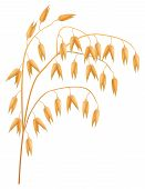 Ear Of Oats On A White Background. Vector Illustration.