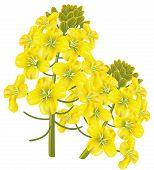 Flor de colza (brassica Napus). Ilustração vetorial.