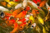 Red And Gold Fishes Over Water