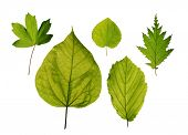 Isolated leaves of trees - hedge maple, katsura tree, hazel, northern catalpa, american witchhazel
