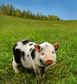 stock photo of hooters  - Cute spotty piglet - JPG