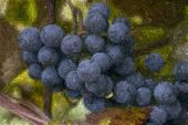 Close Up Of Concord Grapes With Fine Art Photoshop Filter