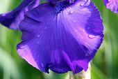 Blue Iris Petal
