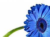 Primer plano abstracto de una Margarita azul