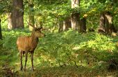 pic of harem  - Red deer stag harem in Richmond Park London Enlgand landscape during Autumn Fall - JPG