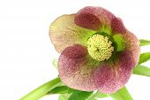 pic of helleborus  - Purple flowering Helleborus on a white background - JPG