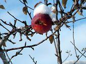 Apple in Winter