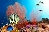 Eight-banded Butterflyfish (chaetodon Octofasciatus)