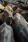 stock photo of feedlot  - calves are all crammed together in a feed lot - JPG