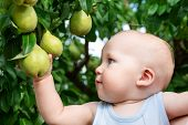 Child Taking Ripe Pears At Orchard In Autumn. Little Boy Wanting To Eat Sweet Fruit From Tree In Gar poster