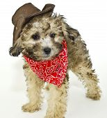 stock photo of baby cowboy  - Sweet little puppy dressed up in a cowboy outfit on a white background - JPG