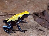 foto of orange poison frog  - yellow and black poison dart frog - JPG