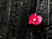 Pink Flower On A Burnt Tree Close Up. poster