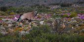 Oryx en flor