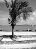 Palm tree in Tortola West Indies
