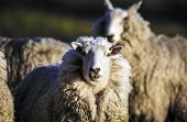 Sheep With Full Fleece Of Wool Ready For Summer Shearing, New Zealand poster