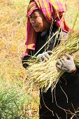 Traditional Way Of Life Of Rural Thai Farmer In The Harvest Time