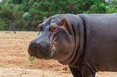 The Common Hippopotamus, Hippopotamus Amphibius, Or Hippo, Is A Large, Mostly Herbivorous, Semiaquat poster