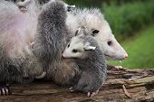 Opossum Joey (didelphimorphia) Curls Up Next To Mother - Captive Animals poster