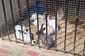 Group Of Young Rabbits In A Farm Behind The Fence.rabbit In Farm Cage Or Hutch. Breeding Rabbits Con poster