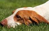 foto of foxhound  - Spotty foxhound puppy sleeping in the grass - JPG