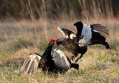 Fighting Black Grouse (tetrao Tetrix).