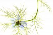 Love-in-a-mist (Nigella damascena)
