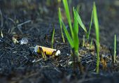cigarette butt in the ashes of among the young plants