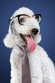 Funny Dog In Glasses