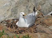Momma Seagull