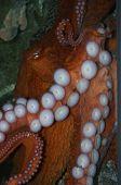 Aquarium octopus