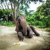 Mature female elephant sits on the ground