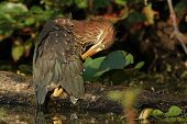 Young Green Heron Preening its Feathers