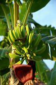 Banana Palm Tree.