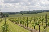 pic of dork  - View over grapevines at vineyard on the North Downs - JPG