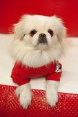 White Pekinese Dog