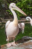 Portrait of a beautiful Pelikan