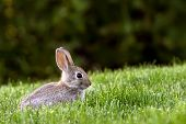Western Brush Cottontail Rabbit