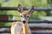 Young Roe Deer Doe